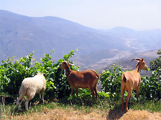Goats enjoying the succulent vines