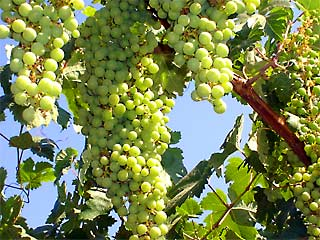 Grapes ripening on the vine in the Andalucian sun